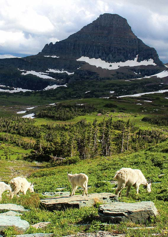 A mountain goat in an alpine meadow, surrounded by mountains and overlooking a river