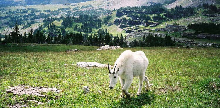 Goat Grazing at Logans Pass