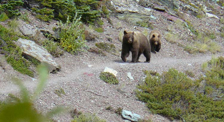 Bears exploring a trail