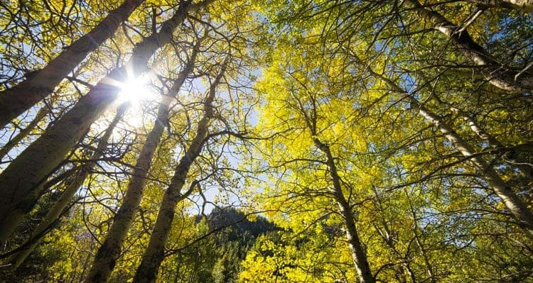 Looking up towards a sunny sky through aspen trees
