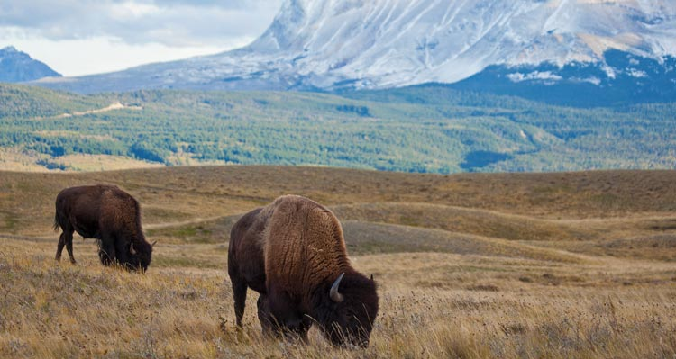 Two bison graze on a prairie below steep mountainsides.