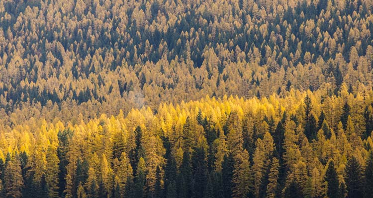 A view of a valley of yellow larch and evergreen trees.
