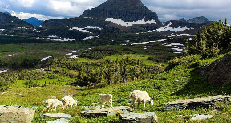Four goats graze high above a lush green valley