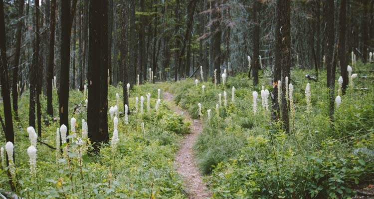 A dense forest of conifers and undergrowth with tall white flowers.