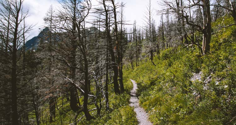 A hiking trail leads into a burned forest.