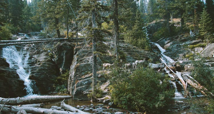 Two waterfalls stream past rocks, trees and a small group of bighorn sheep.