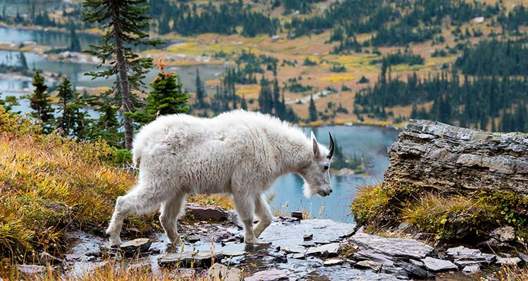 A mountain goat walks along a rocky stream above a lake
